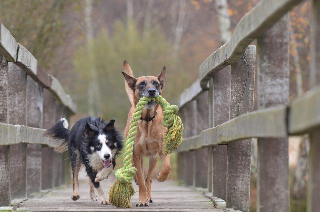 malinois and border collie, belgian shepherd dog, playing dogs-788032.jpg